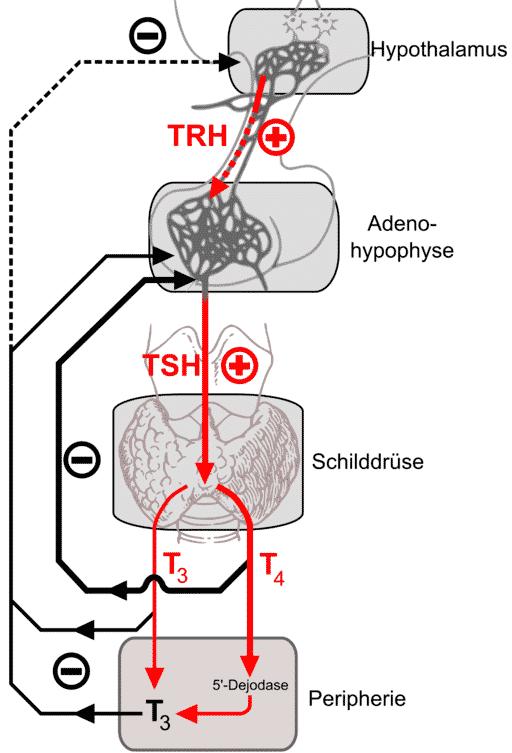Hormonii adenohipofizari